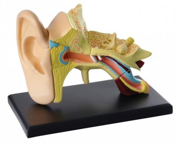 """""""Menschliches Ohr"""" Modell"""