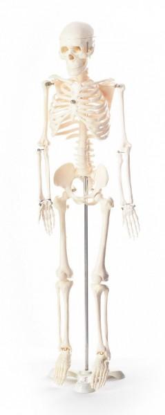 80cm Skelett auf Stativ