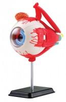 """""""Menschliches Auge"""" Modell"""