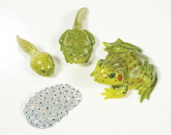 Lebenszyklus - Figuren: Entwicklung des Frosches